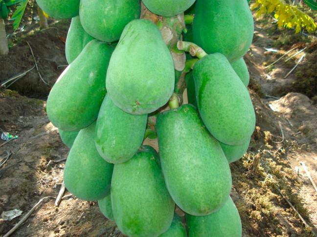 fruto verde