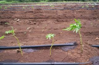 Plantas con el manejo del productor