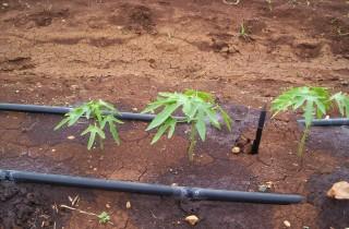 Plantas tratadas con Q Algy, Q Energy y Q 2000 al momento del transplante
