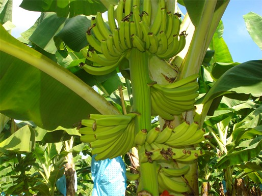 imagen 4 banano (parte 4)