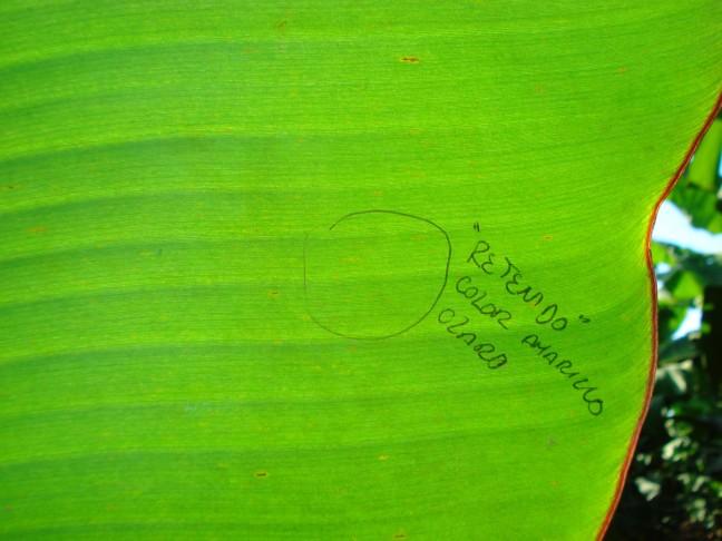 imagen 5 banano (parte 2)