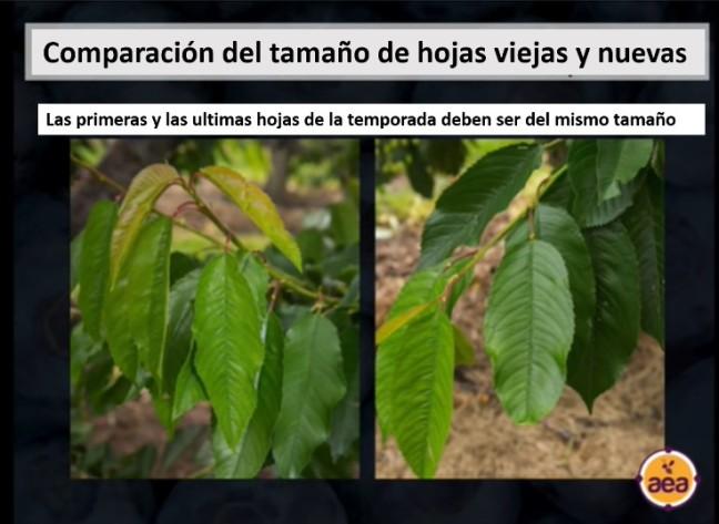 comparacion de hojas nuevas y viejas
